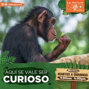 zoo, zoologico, la aurora, mono, chimpance, animales